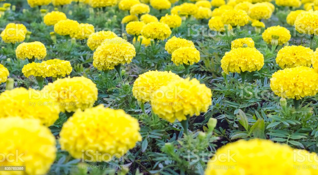 Many yellow chrysanthemums on a flower bed stock photo