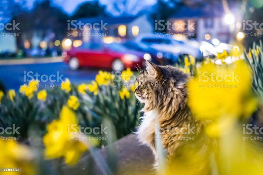 Many yellow daffodils with green leaves during blue hour and maine coon cat watching on front porch stock photo