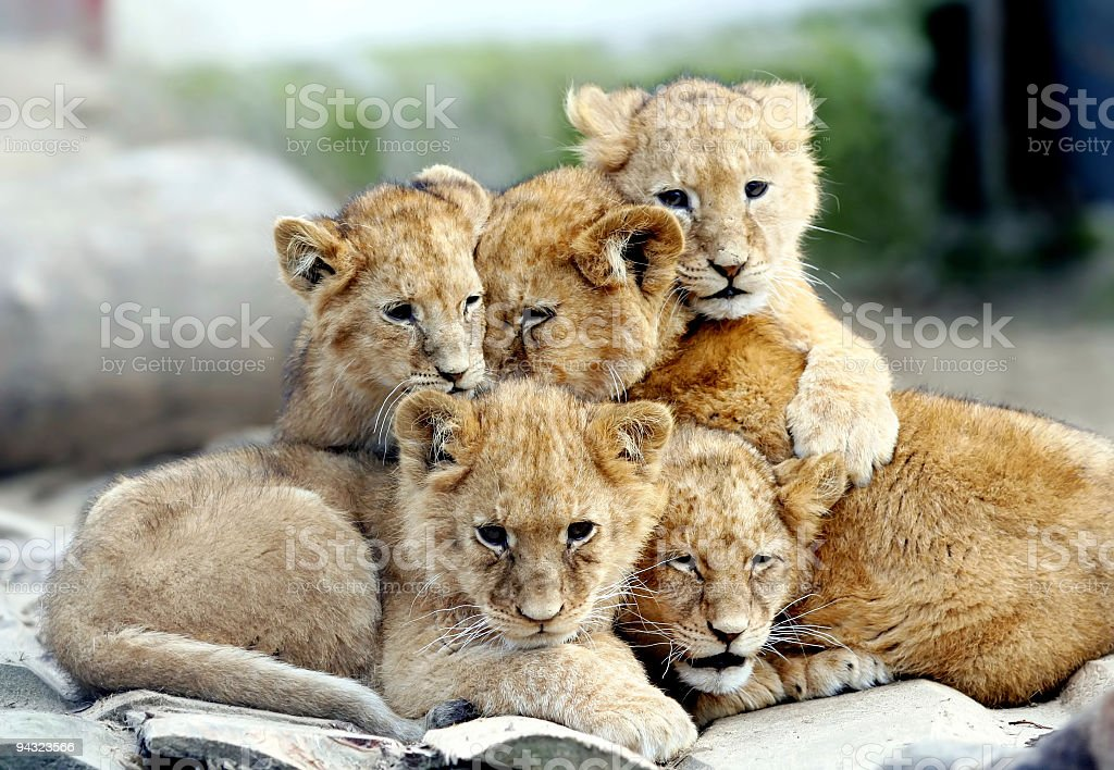 Many young lions together stock photo