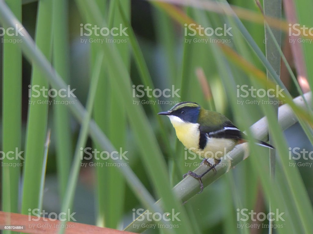 Many-colored Rush Tyrant in Northern Peru stock photo