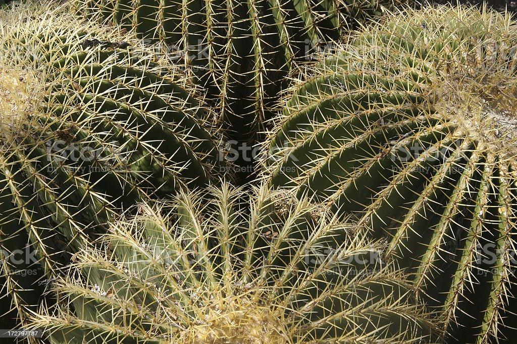 Many-Headed Barrel Cactus royalty-free stock photo