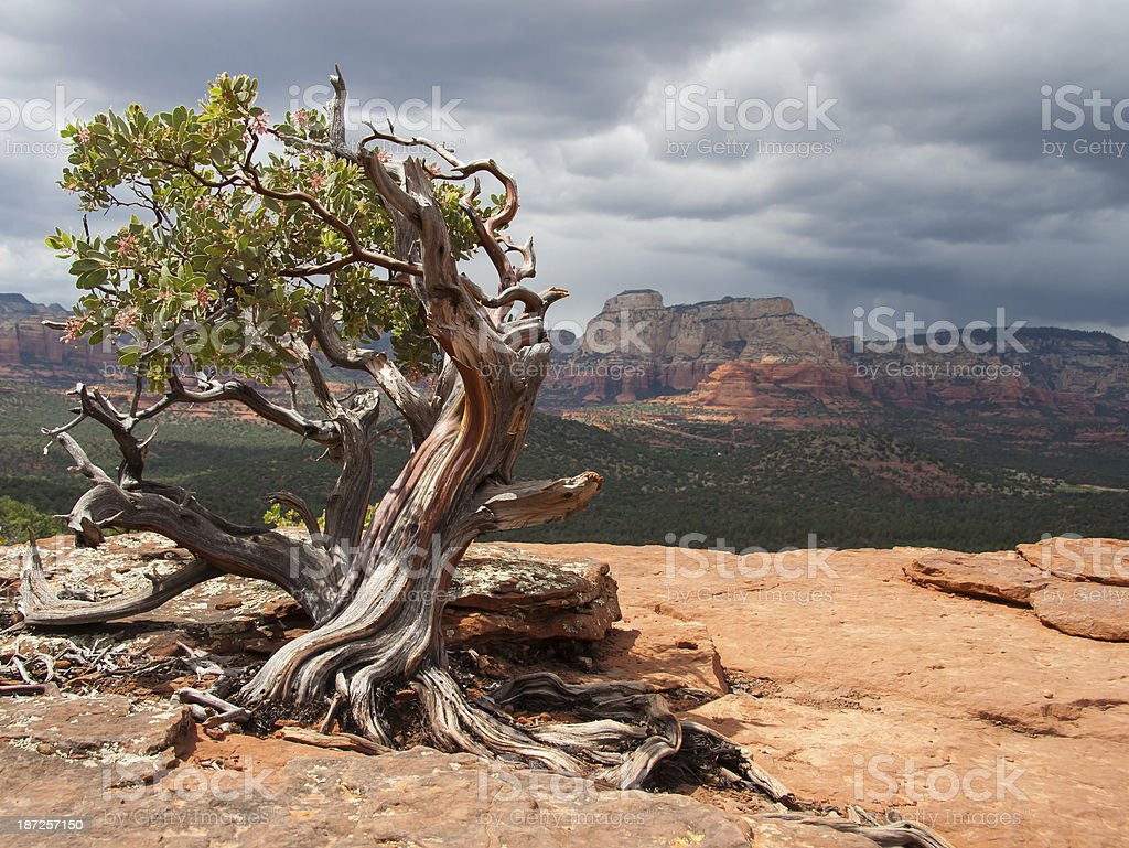 Manzanita Tree stock photo