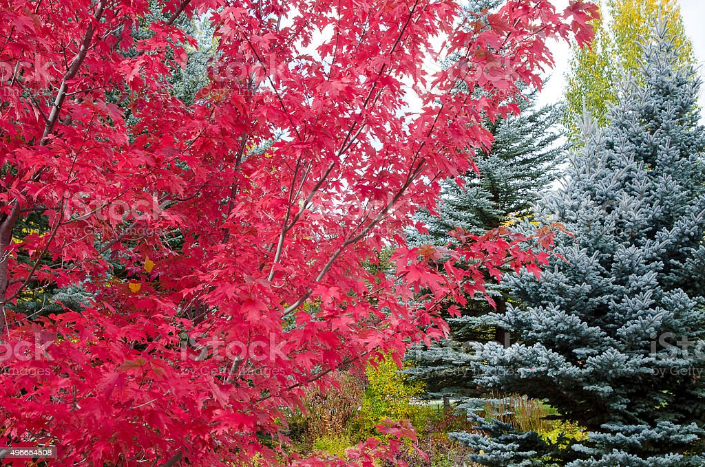 Maple and Colorado Blue Spruce in the Rocky Mountains stock photo
