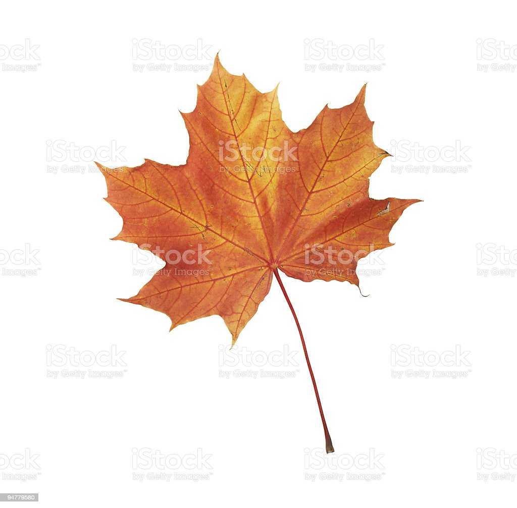 Maple autumn leaf isolated on white background royalty-free stock photo
