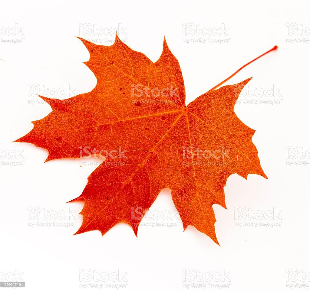 Maple autumn red leaf stock photo