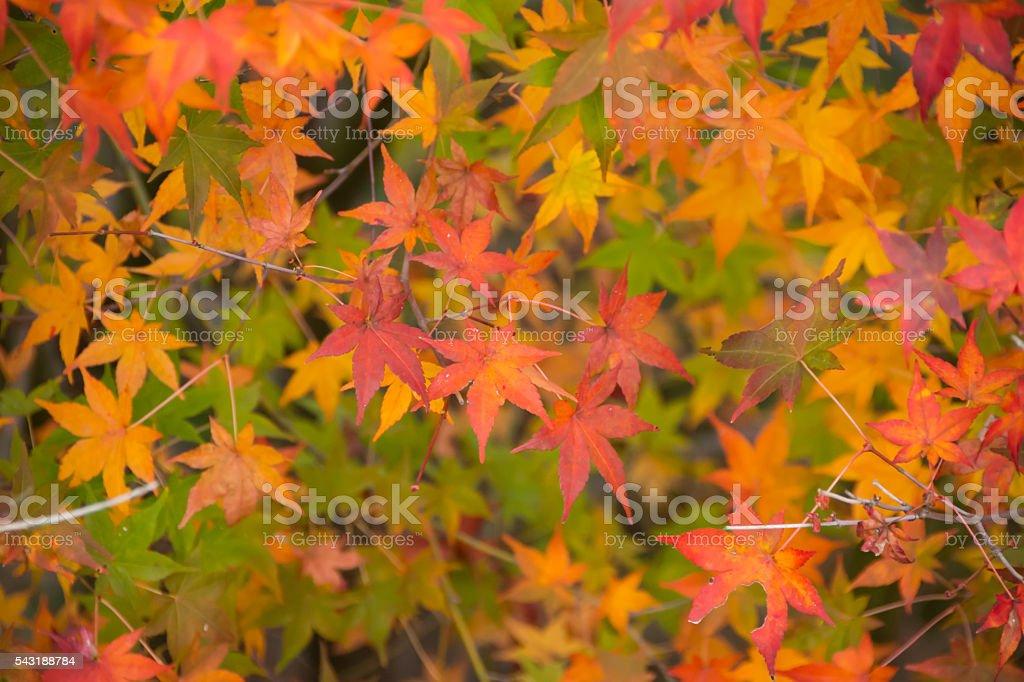 Maple Background stock photo