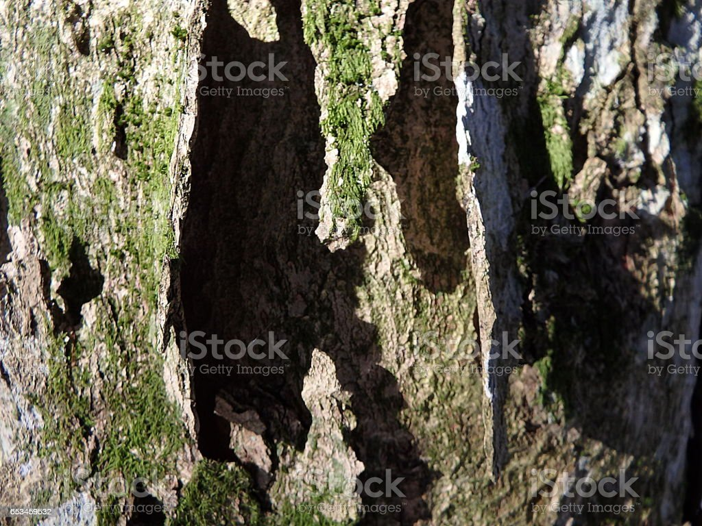 maple bark, maple trunk stock photo