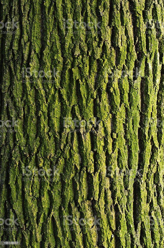 Maple bark texture royalty-free stock photo