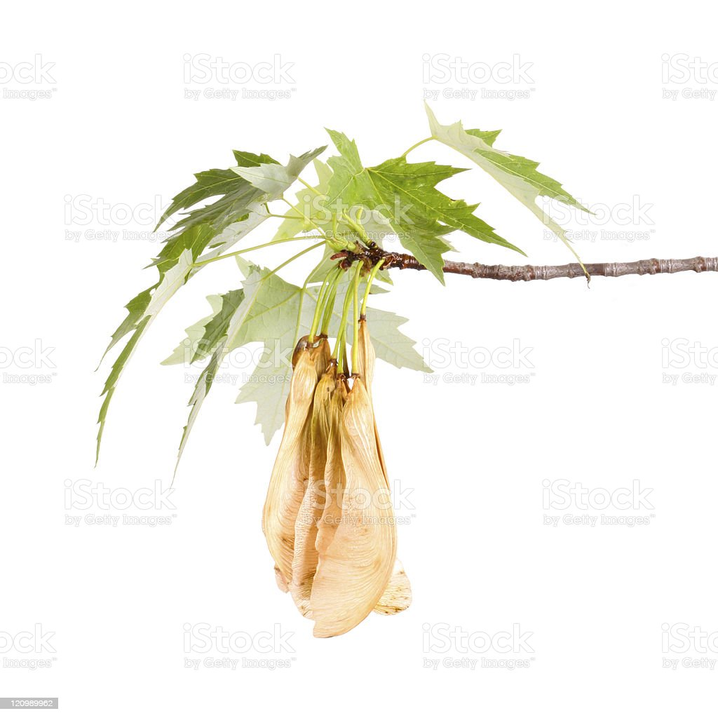 Maple branch and samaras royalty-free stock photo