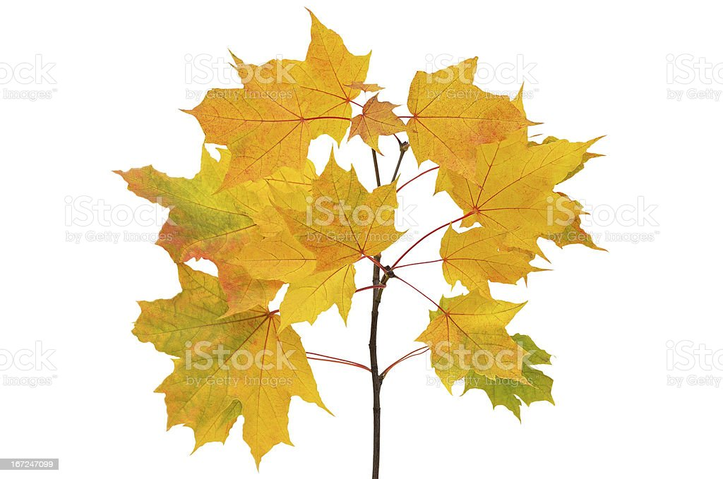Maple branch with bright yellow leaves royalty-free stock photo