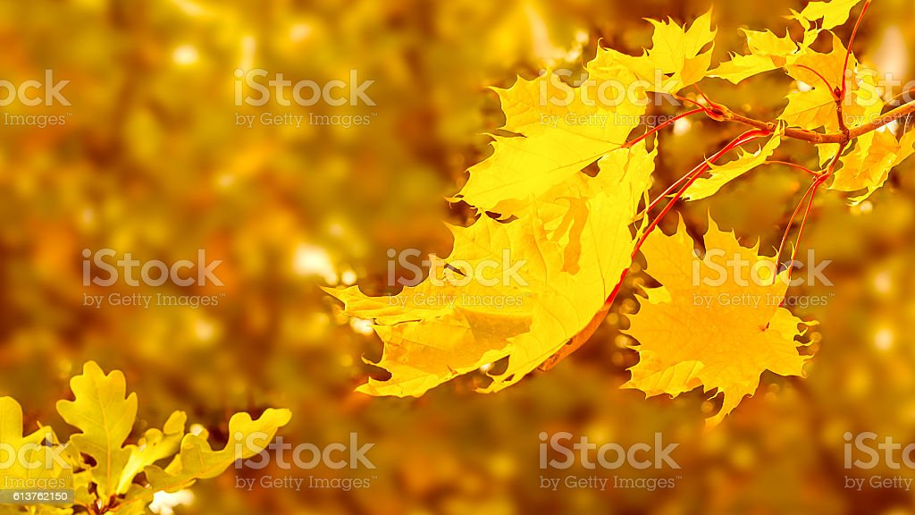 Maple branch with yellow leaves on fall background copy space stock photo
