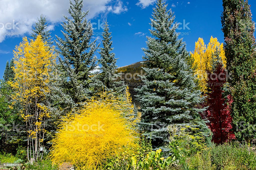 Maple, Cottonwood and Colorado Blue Spruce in the Rockies stock photo