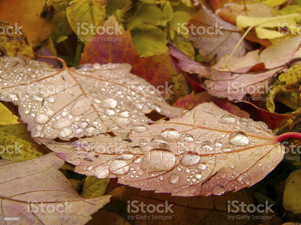 Maple Drops royalty-free stock photo