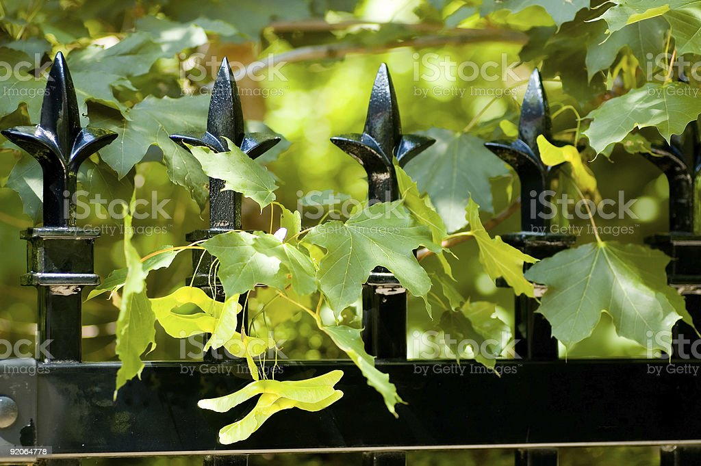 Maple Fence royalty-free stock photo