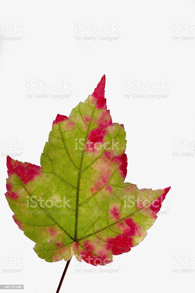 Maple Foliage stock photo