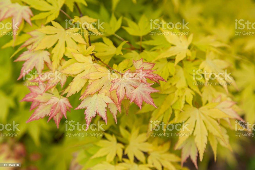 Maple foliage. stock photo