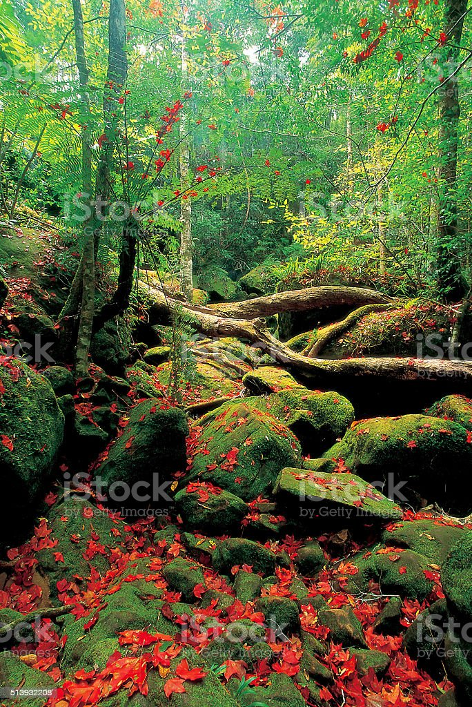 Maple forest in Phu Kradueng National Park stock photo