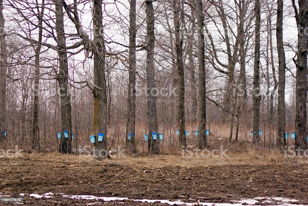 Maple Forest in Spring stock photo