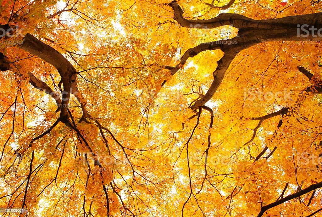 Maple forest royalty-free stock photo