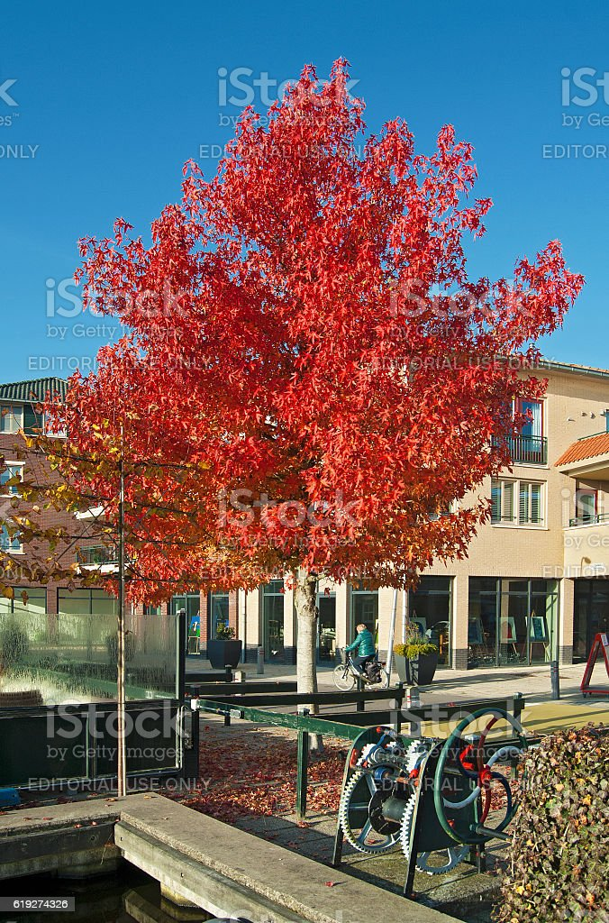 Maple in autumn colors stock photo
