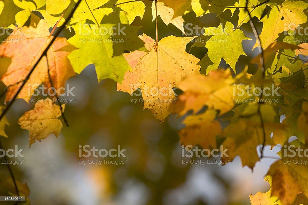 Maple in Autumn stock photo