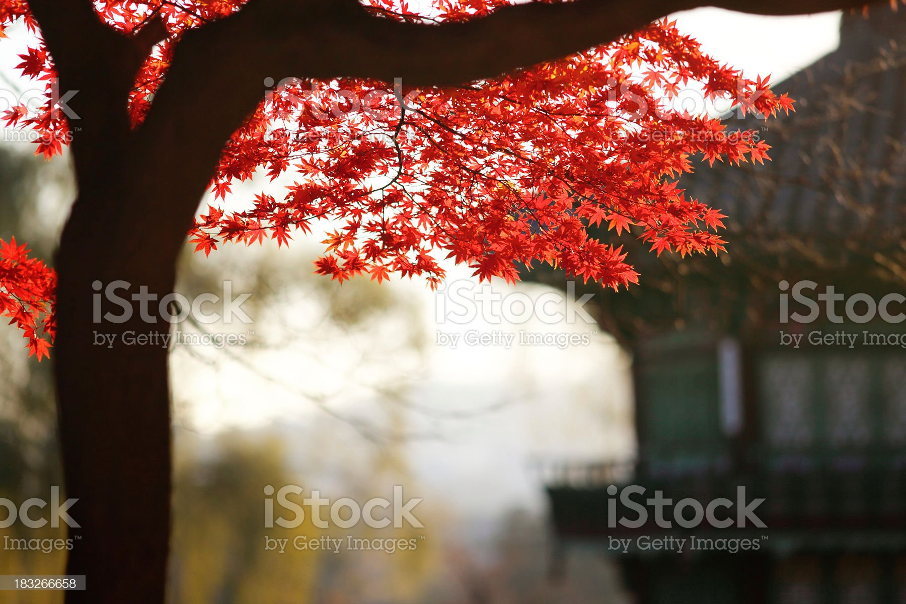 Maple in Oriental palace royalty-free stock photo