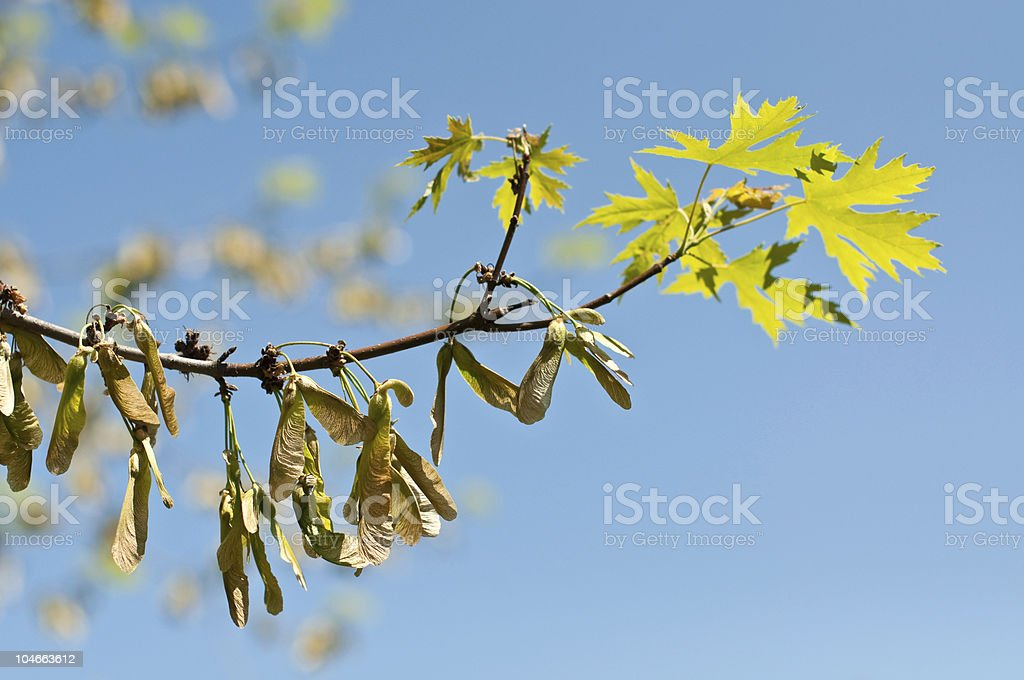 Maple Keys and Leaves on a Branch in Spring stock photo