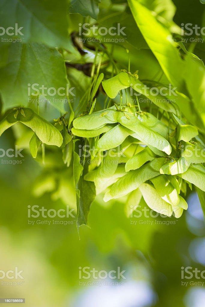 Maple Keys In Tree stock photo