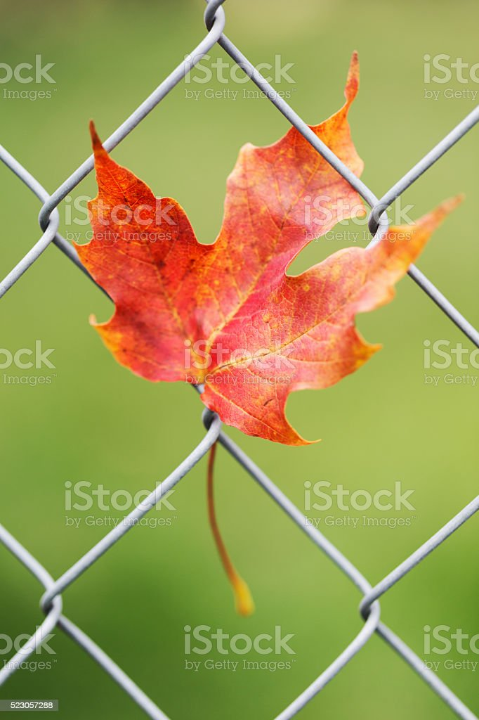 Maple Leaf Caught on Fence stock photo