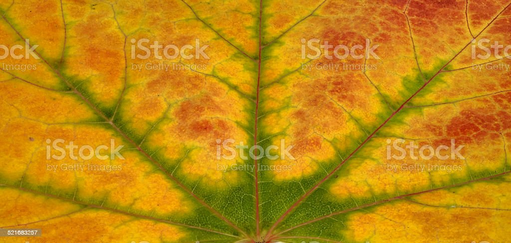 Maple leaf in autumn, close-up stock photo
