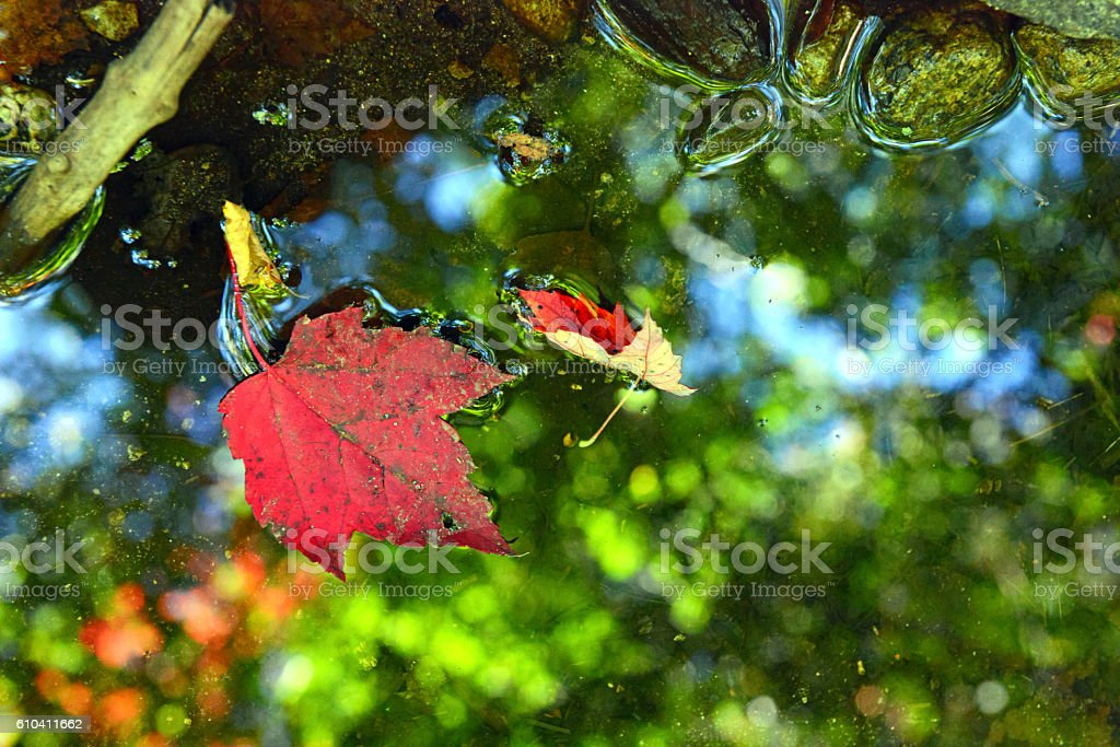 Maple leaf in Autumn foliage in pond with reflection stock photo