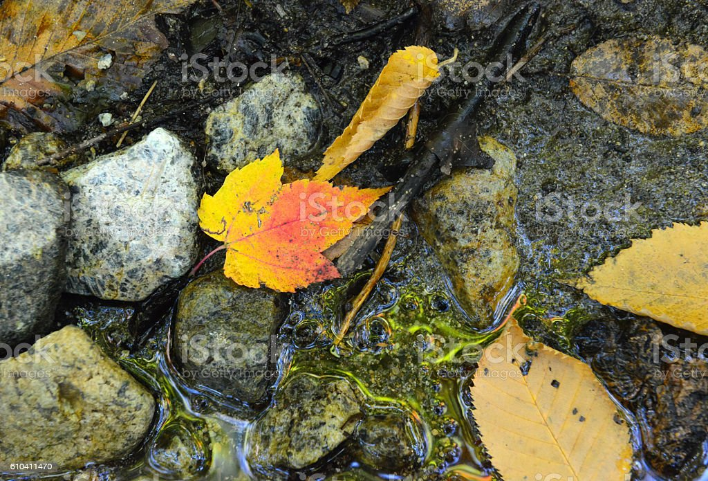 Maple leaf in Autumn foliage, with red, orange and yellows stock photo