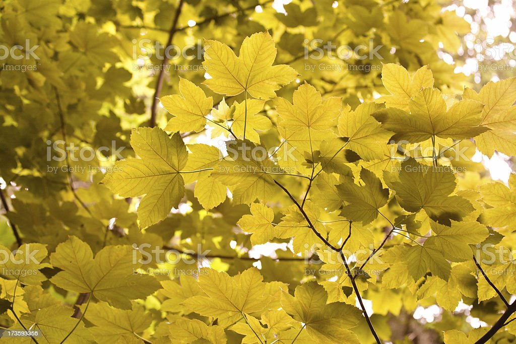 maple leaf in autumn royalty-free stock photo
