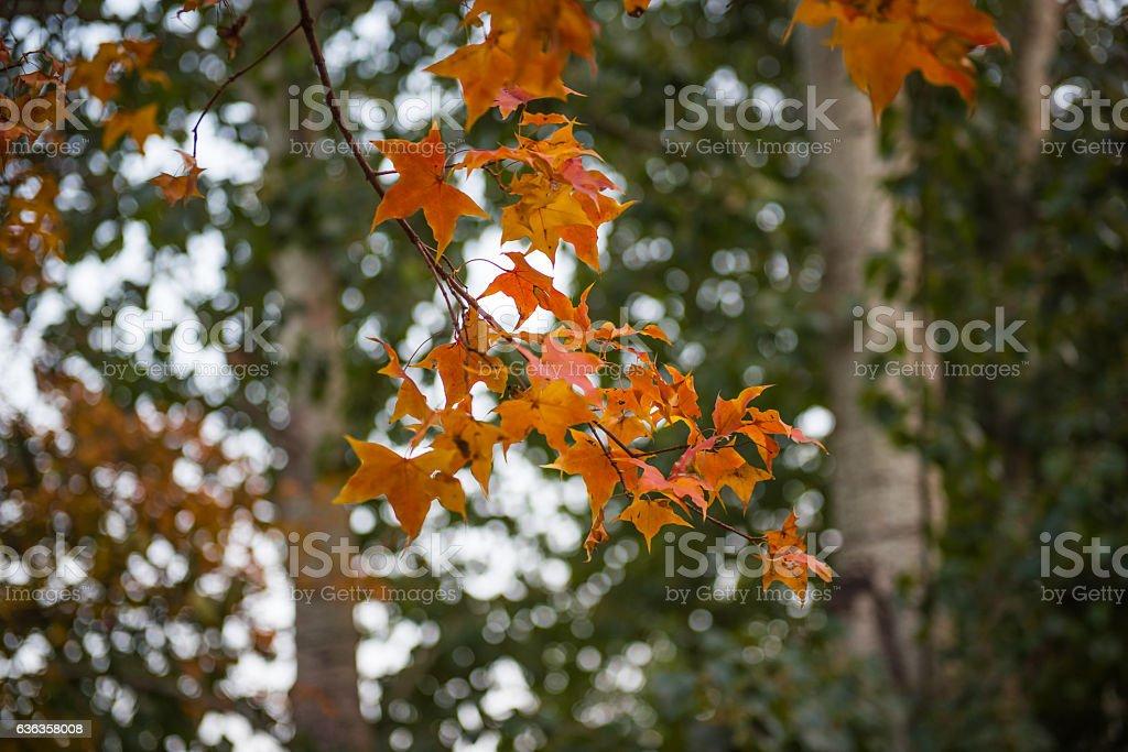 Maple leaf in autumn. stock photo