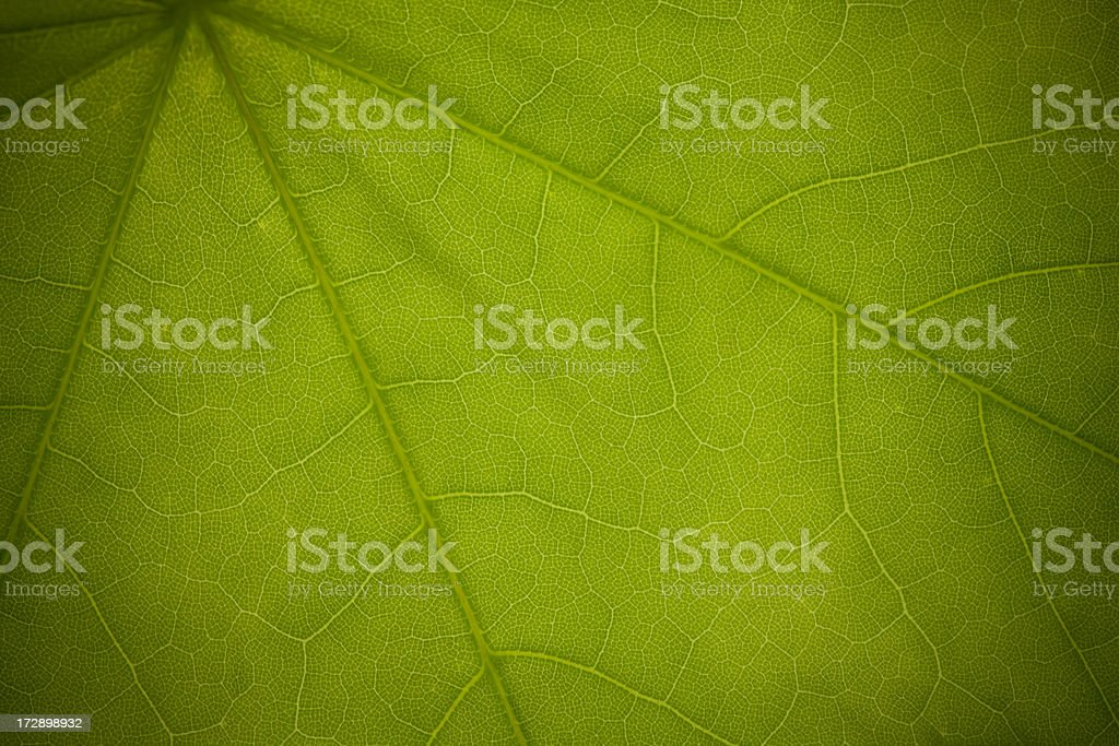 かえでの葉のディテール ロイヤリティフリーストックフォト