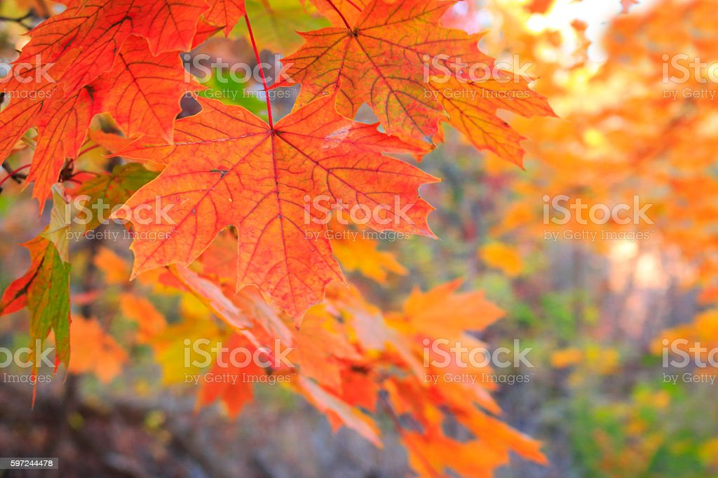 Maple Leaf in Forest stock photo