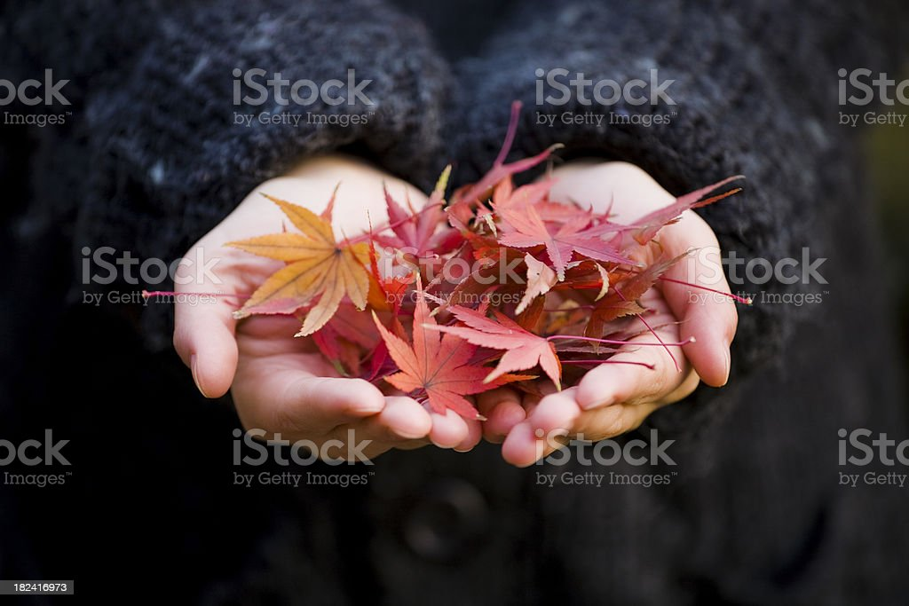 maple leaf in hand stock photo