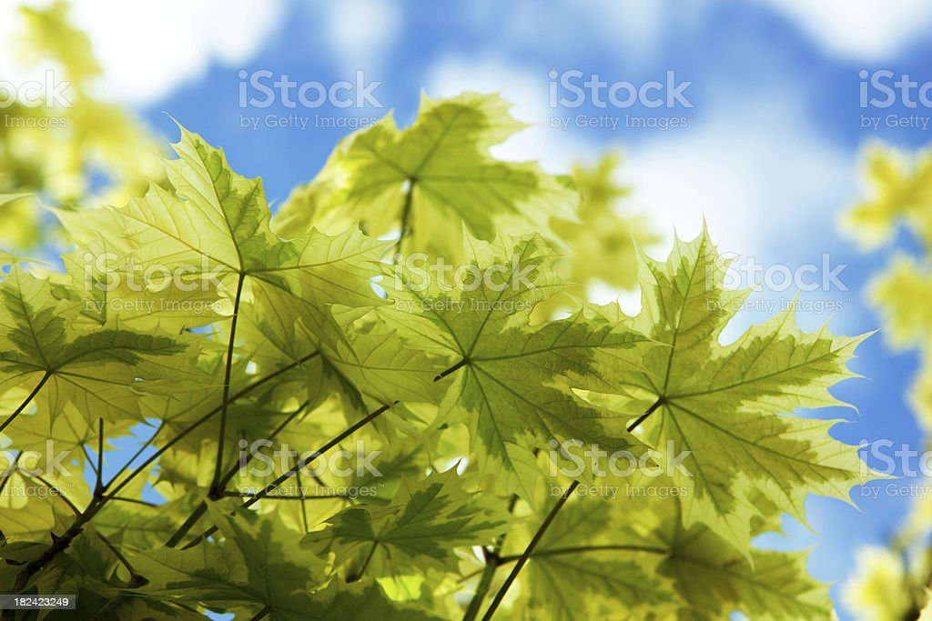 maple leaf in spring royalty-free stock photo