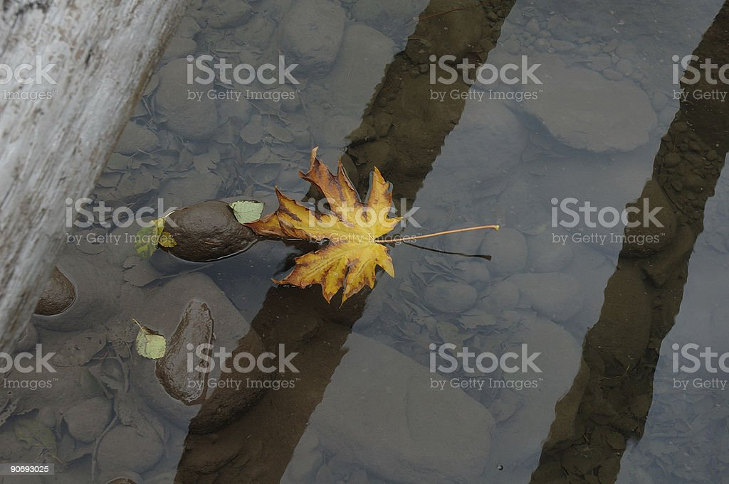 Maple leaf in water royalty-free stock photo