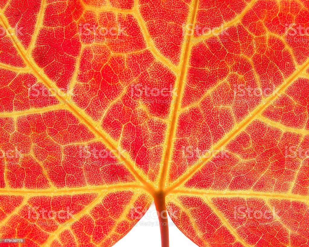 Maple Leaf Macro stock photo