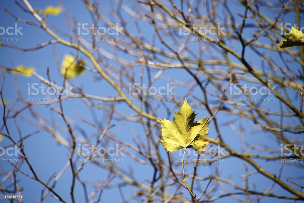 Maple leaf on a nearly bare tree royalty-free stock photo