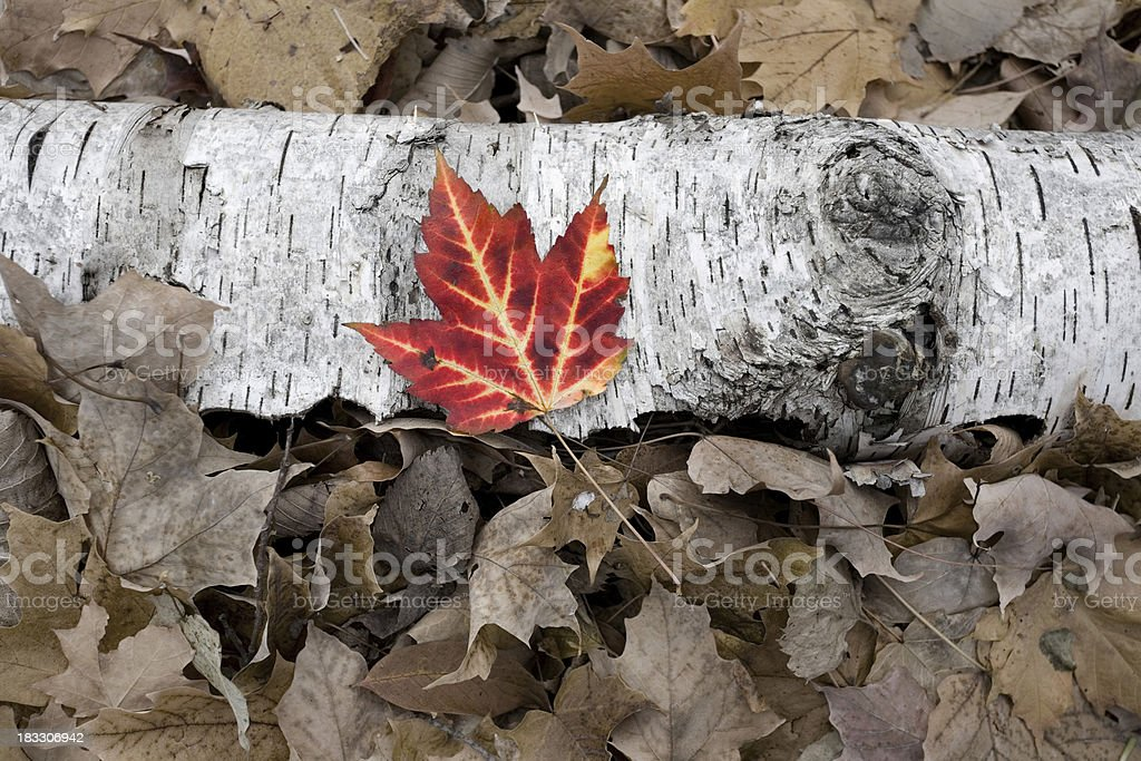 Maple Leaf on fallen Birch royalty-free stock photo