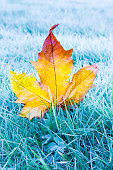 maple leaf on frost ground