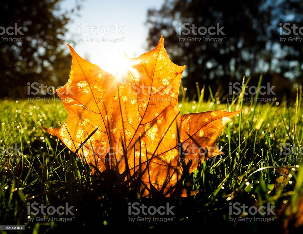 Maple leaf on grass illumited by sunrise light stock photo