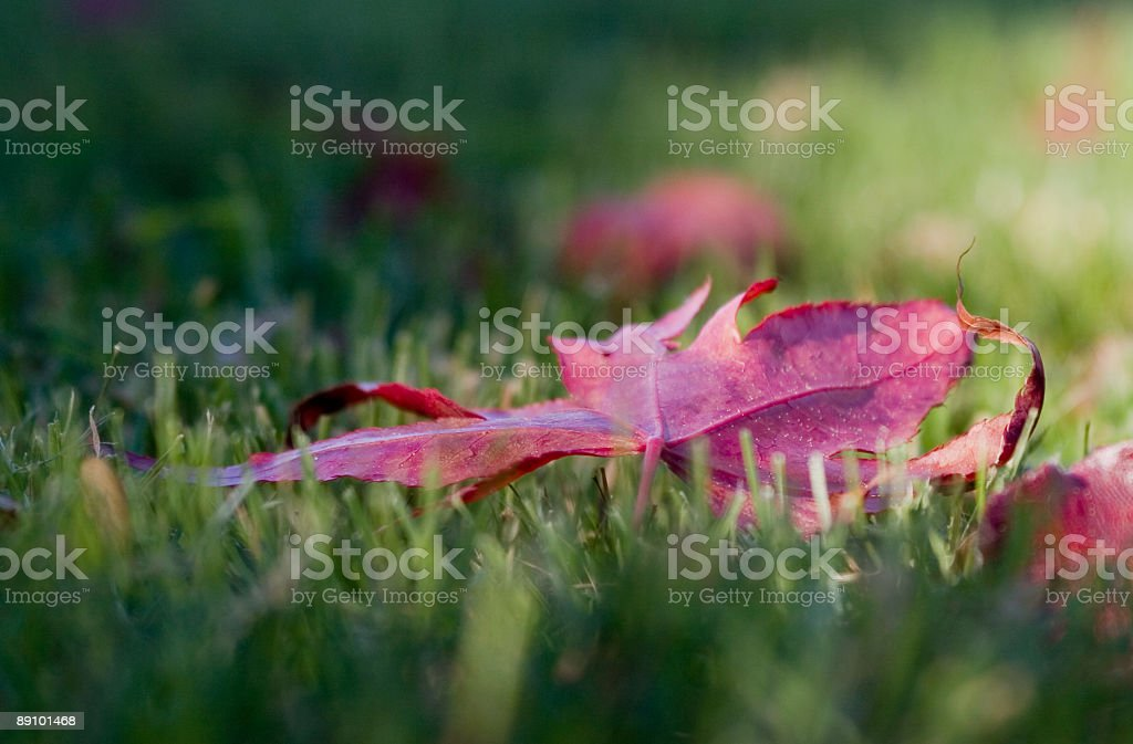 maple leaf on grass royalty-free stock photo