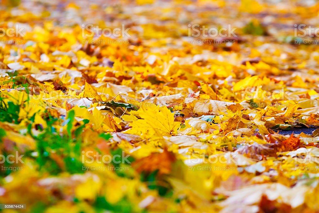 maple leaf on green grass, autumn background stock photo