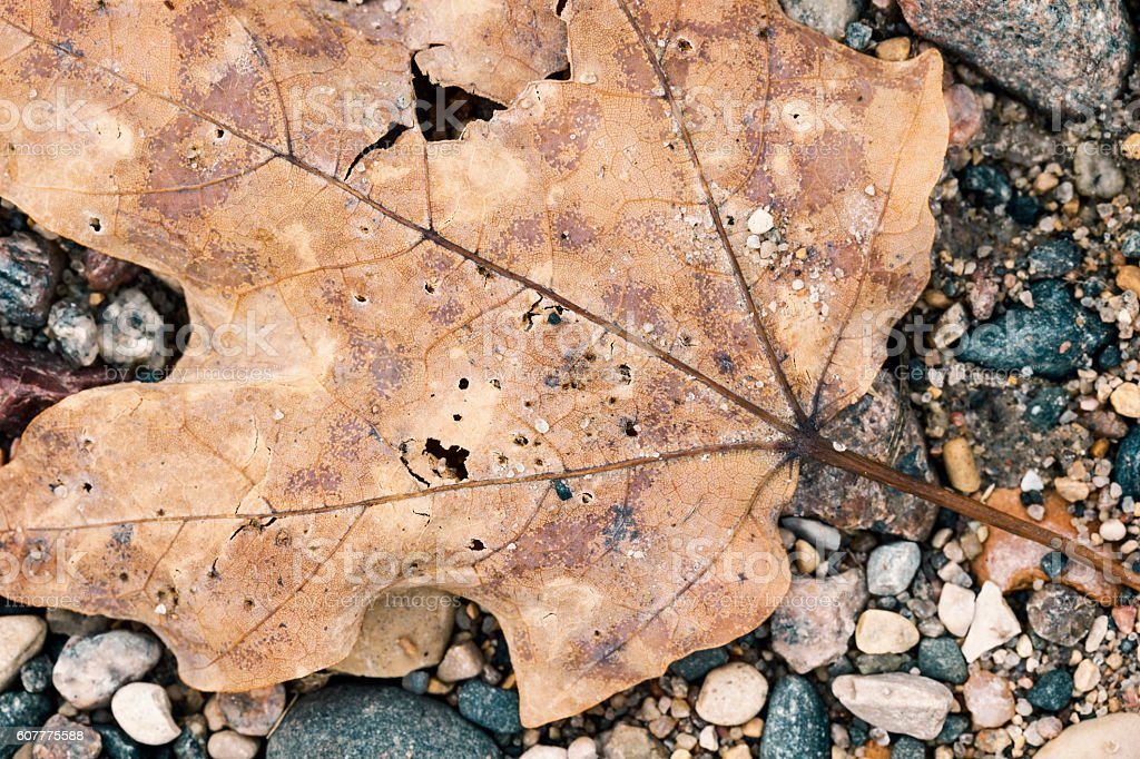 Maple Leaf on Ground in Rocks stock photo
