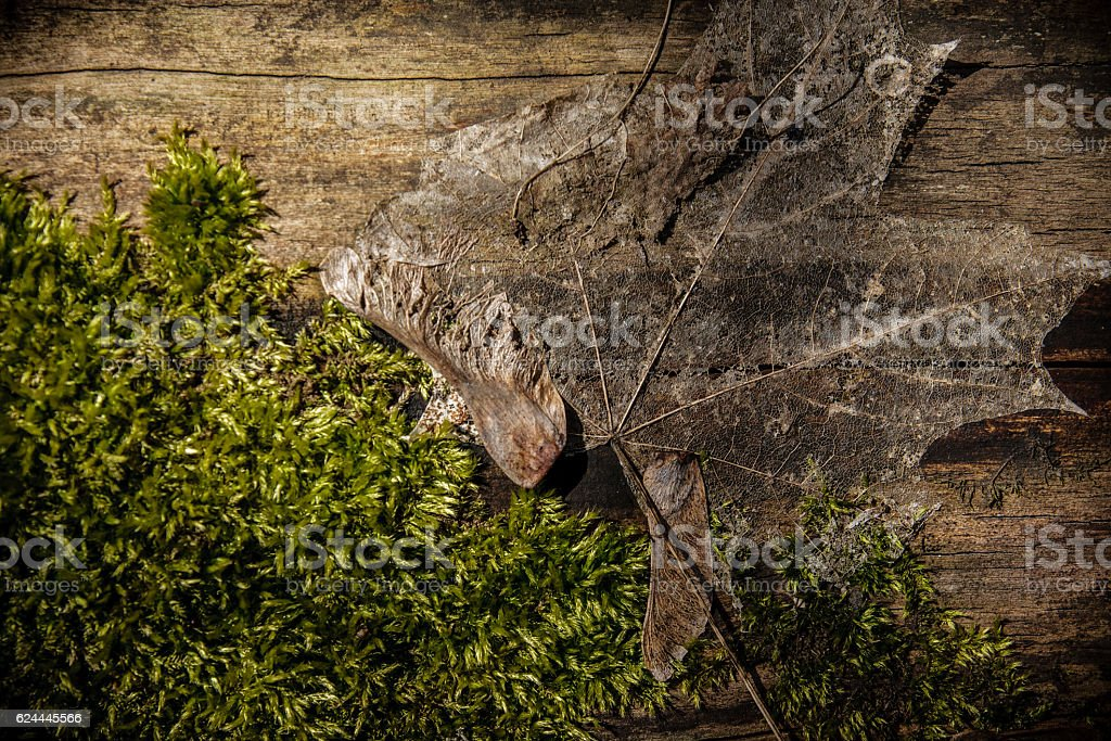Maple leaf on log with moss stock photo