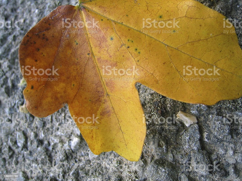 Maple Leaf on road royalty-free stock photo