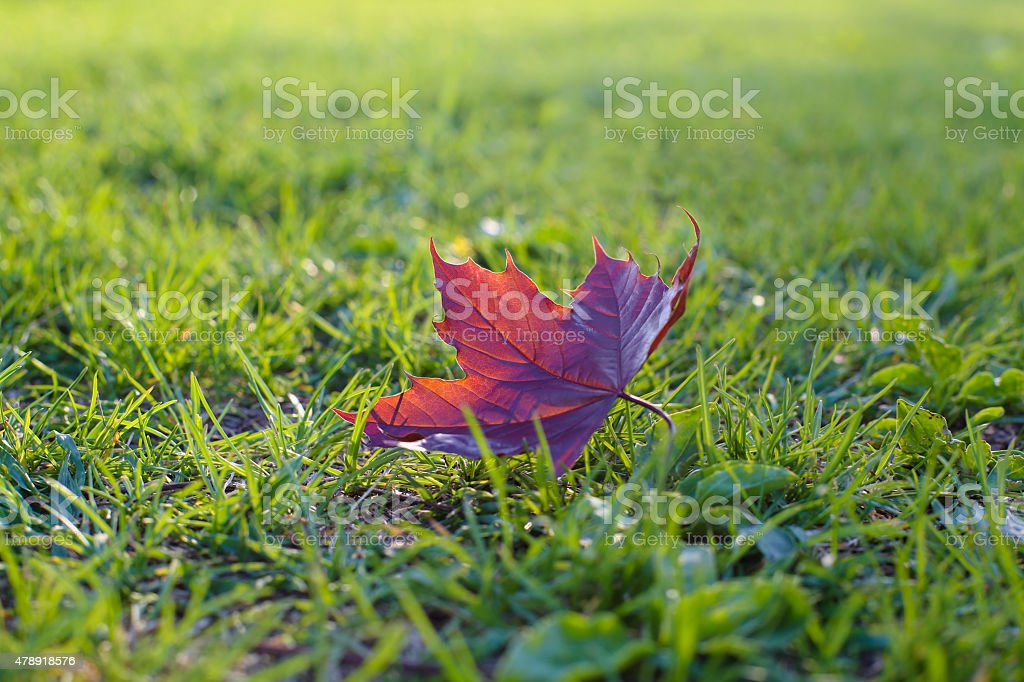 maple leaf on the ground stock photo